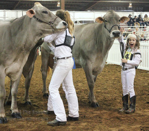 Addison Goldenberg, 9, smiles widely when she learns she won first for her age group in brown Swiss dairy cattle Saturday. Later, she won Grand Champion and a $10,000 scholarship for college as the best of the breed for all age groups, the result of her first appearance in San Antonio. Her father, Adam Goldenberg, said he was surprised and pleased. She won $2,000 cash at the McLennan County Fair, and $1,000 cash in Fort Worth, which goes into her college savings as well. Goldenberg's first year in 4-H shows great promise. The family keeps the cow as breeding stock. Photo by Paula Christine Schuler