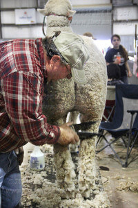 Russel Kott trims Marian, a Rambouillet, before showing her in competition Saturday in the livestock area on the grounds of Freeman Coliseum. Kott says he brings in his sheep every year and hopes this year Marian will win first prize. Photo by Riley Stephens