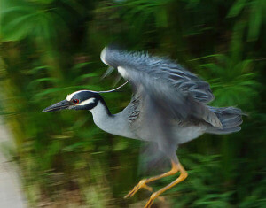 "Photography Professor Edmund Lo's photo of a heron on the Riverwalk is featured in the ""Natural Visions"" exhibit at EcoCentro opening 5 p.m. today. Seven faculty and staff members will have their photographs featured as part of Fotoseptiembre."