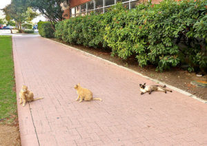 Two tabby cats and one Siamese cat lie on the sidewalk after eating dinner.  Photo by Aly Miranda