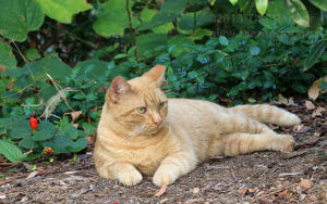 One tabby cat lies in the dirt in the shade. Its left ear is clipped to show the cat has been fixed.  Photo by Aly Miranda