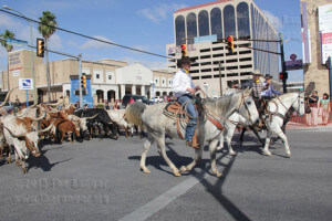 A Longhorn cattle drive leads the Western Heritage Parade.  Monica Correa