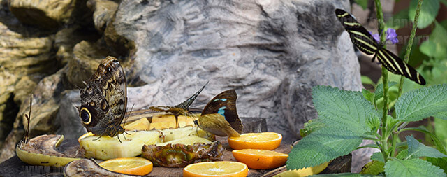 Butterflies feed on fruit for the sweet juice. The San Antonio Zoo held Monarch Fest March 4-6 to celebrate the butterfly migration. Visitors learned about butterfly biology and ecosystem.  Photo by Robert Limon